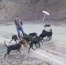 Avcılar vurarak yaraladıkları yavru domuzu, köpeklere parçalattı