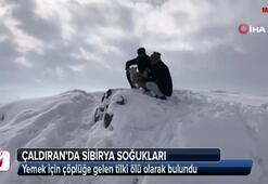 Çaldıranda Sibirya soğukları tilkiyi telef etti
