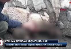 Koruma altındaki keçiyi vurdular