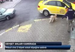 Pitbull cinsi 2 köpek sokak köpeğine saldırdı