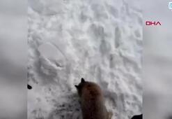 Köye inen tilkinin kedilerle ekmek kapma mücadelesi