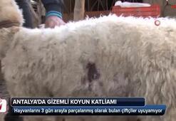 Antalyada gizemli koyun katliamı bu kez ucuz atlatıldı