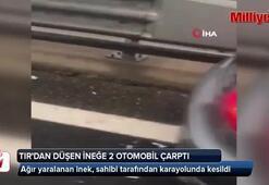 TIRdan düşen ineğe 2 otomobil çarptı