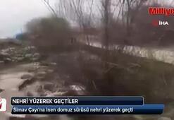 Nehri yüzerek geçen domuzlar böyle görüntülendi