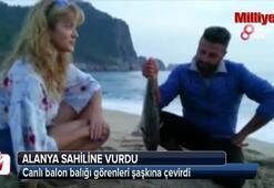 Alanya sahiline canlı balon balığı vurdu