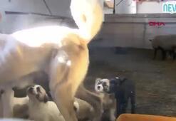 Kangal köpeği Kezban, kuzulara da annelik yapıyor