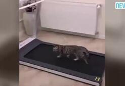 Şirin kedinin koşu bandıyla imtihanı