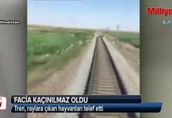 Tren, raylara çıkan hayvanları telef etti