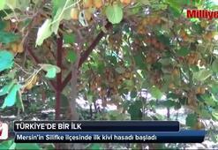 Türkiye'nin ilk kivi hasadı Silifke'de yapıldı