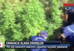 Kenevirler uyuşturucuya dönüştürülmeden yakalandı