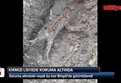 Koruma altındaki vaşak bu kez Bingölde görüntülendi