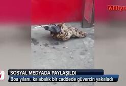 Boa yılanı, güvercini böyle yakaladı
