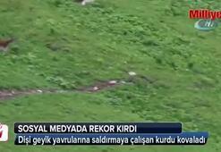 Dişi geyik yavrularına saldırmaya çalışan kurdu kovaladı