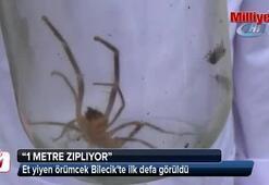 Et yiyen örümcek Bilecikte ilk defa görüldü