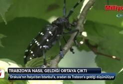 Drakula lakaplı böceğin Trabzona nasıl geldiği ortaya çıktı