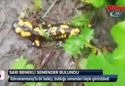 Kahramanmaraş'ta sarı benekli semender bulundu