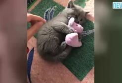 Faresini vermek istemeyen şirin kedi güldürdü