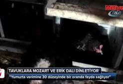 Tavuklarına Mozart ve Erik Dalı dinletiyor