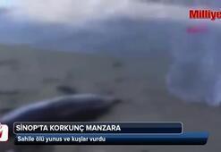 Sinopta sahile ölü yunus ve kuşlar vurdu