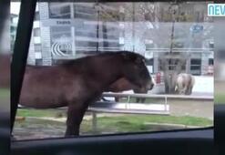 Atı aracına davet eden ilginç sürücü