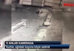 Kurtların ağıldaki koyuna saldırısı güvenlik kamerasında
