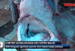 Dev pamuk cinsi köpek balığı, balıkçıların ağına takıldı