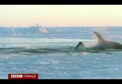 Katil balinaların yaşam mücadelesi
