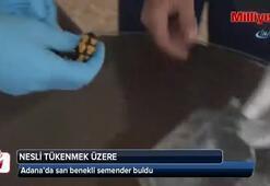 Adanada nesli tükenmekte olan semender bulundu