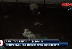 Antalyada beşiz kuzu şaşkınlığı