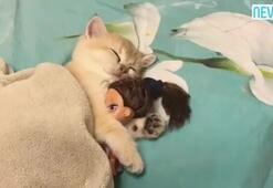 Oyuncak bebekle uyuyan şirin kedi
