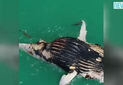 Ölü balinayı böyle parçaladılar