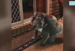 Gece vakti koala operasyonu