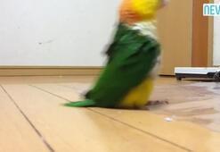 Bu papağan asker gibi yürüyor