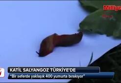 Katil salyangoz Türkiyede...