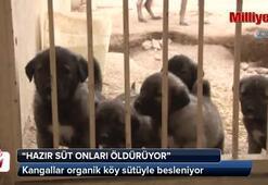 Kangallar organik köy sütüyle besleniyor
