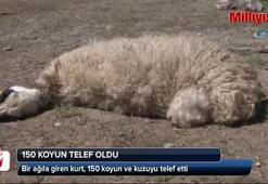 Kurt, 150 hayvanı telef etti