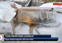 Tuna Nehrine düşen tilki dondu
