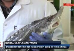 Dinozorlar döneminden kalan Mersin balığı koruma altında