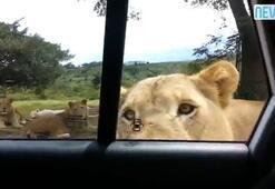 Aslan arabanın kapısını açınca...