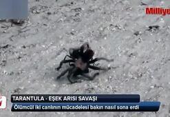 Tarantula ile eşek arısının savaşı
