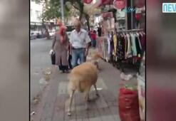 Köpek koç ile oynamak istedi ama...