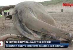 17 metrelik dev balina kıyıya çekildi