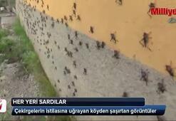 Diyarbakır Kulpta çekirge istilası