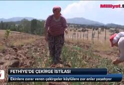 Fethiye'de çekirge istilası
