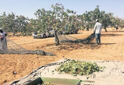 'Bilinçli tarım'la fıstık gibi hasat