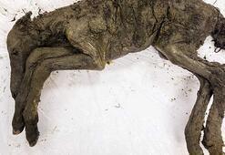 40 bin yıllık tay, soyu tükenmiş türleri hayata döndürecek