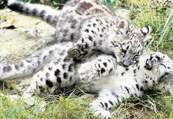Kar leoparları insanlarla tanıştı