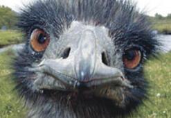 Diş tedavisi için devekuşu yumurtası