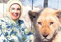 Parkta yavru aslanları sevdi