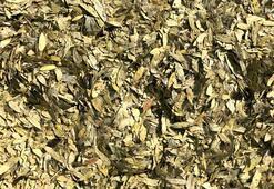 Sinameki çayı nasıl yapılır, faydaları nelerdir